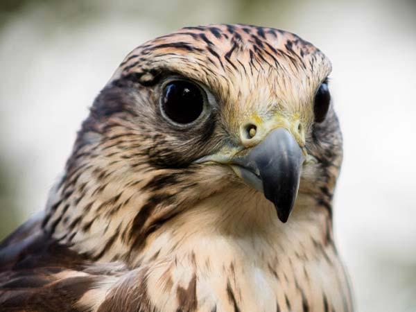 La Potenza del Volo - Falco Sacro